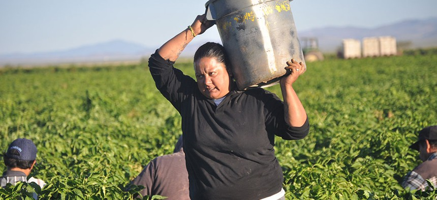 A farm worker carries a bucket filled with green chiles.