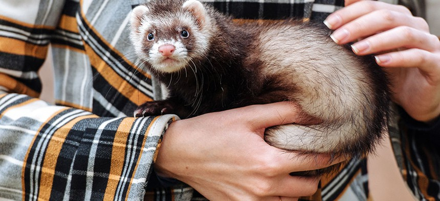 Sorry bud, ferrets aren't welcome 'round these parts.