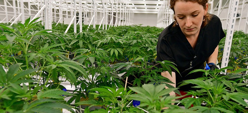 A medical marijuana cultivator sorts through the male and female plants.